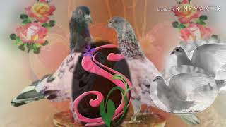 Kannigu Kanade Manasi gubara day status video song