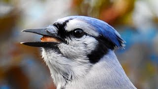Wonderful blue jay (Call at the end)