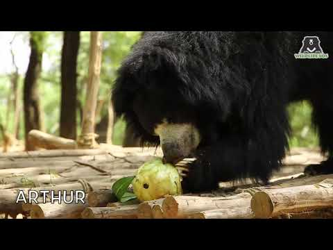 Rescued sloth bears enjoy Easter