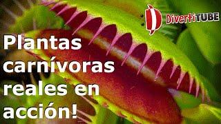 Plantas carnívoras reales en acción!