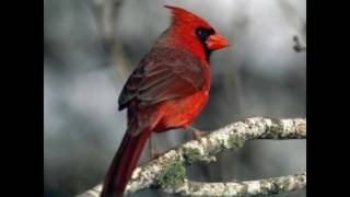 mejores aves cantoras en mexico