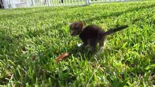 Tiny & Cute Foster Kitten Walking On Grass For First Time - 3 Weeks Old