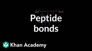 Peptide bonds: Formation and cleavage | Chemical processes | MCAT | Khan Academy width=