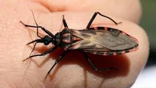 ATENÇÃO: você está em perigo Se você ver esse inseto em sua casa, fuja imediatamente