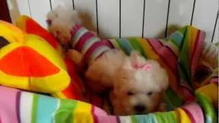 Bichón Maltes de My Loving Puppies