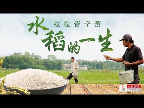 水稻的一生 一粒米的旅行 - YouTube