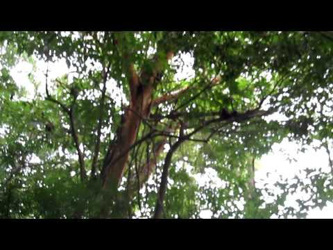Charco Verde National Park – Ometepe Nicaragua – Monkey