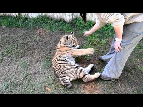Brother Bengal Tigers