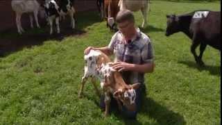 Texas Longhornkalf geboren in Essen