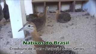 Perdiz Brasileira (Rhynchotus rufenscens) no Criadouro em Arapuá/MG