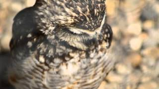 burrowing owl sound