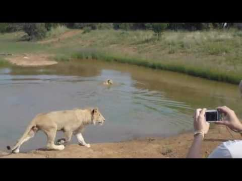Walk with Lions – Johannesburg, South Africa