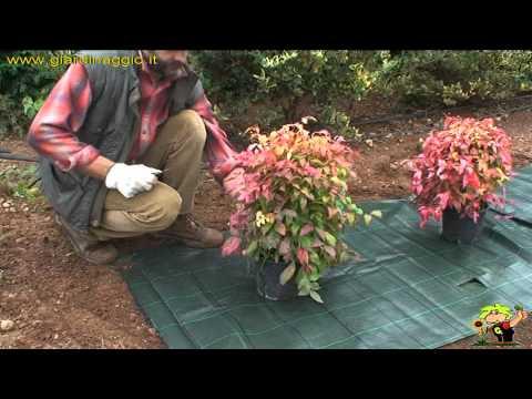 Come applicare il tessuto pacciamante attorno ad aiuole e for Arbusti per aiuole