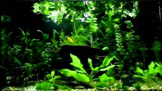 29 Gallon Freshwater Aquarium to Fat Freddy's Drop Featuring Tubbs - Five Day Night
