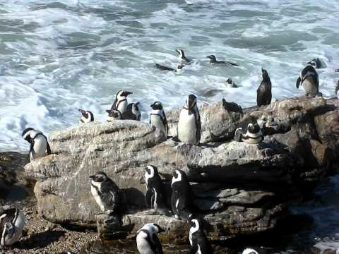 puiguins at bettys bay South Africa december 2010.avi