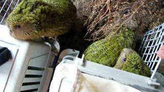 Kakapo chicks released back to the wild ( 2011 )