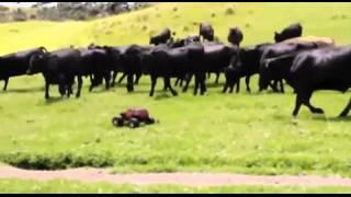 Cows chasing a RC car around a field (Yakety Sax)