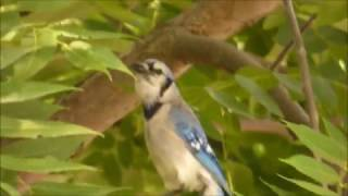 young blue jay sounds
