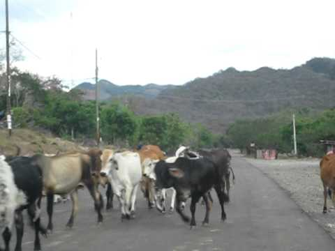 cattle crossing the road in Nicaragua