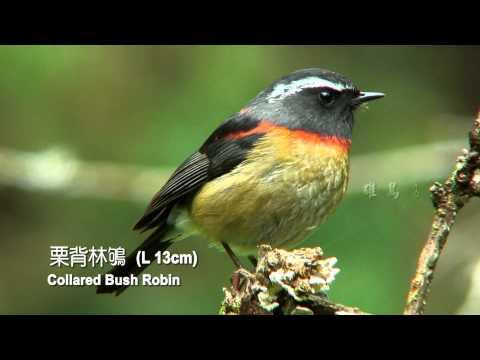 2015台灣特有種野鳥27新版 - YouTube