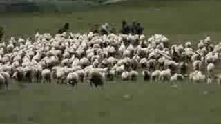 Turma de oi pe creasta Fagarasului la inceput de iulie 2008