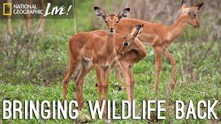 A Park Reborn: Bringing Wildlife Back   Nat Geo Live