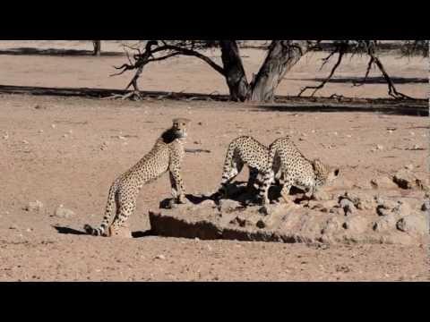 Thursty Cheetahs at Dalkeith