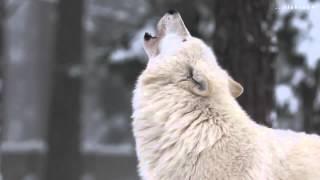 Lobos Aullando