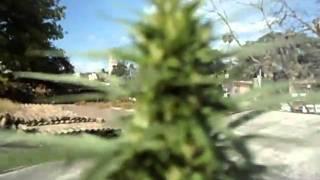 planta de marihuana 3 meses okx