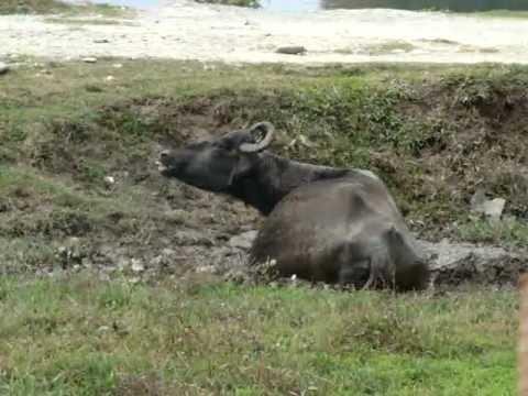 Типичный буйвол в Покхаре
