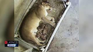 El Naples Zoo celebra la llegada de las crías de León