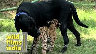 Maternal giving: Tiger cub and antelope feed from dog