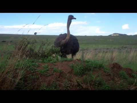 Watch an ostrich eat, up close