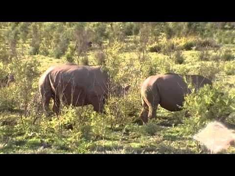 On Safari, Rhinos in the Wild in South Africa
