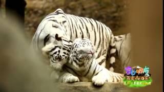 《奇妙的朋友》看点 Wonderful Friends 02/14 Recap: 萌宠逗趣瞬间之缠绵的大白虎-Romantic white tiger【湖南卫视官方版】