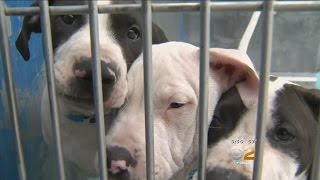 Dogs Corralled After Police Pursuit In Long Beach Now With Animal Services