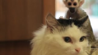 Raw: Russian Cat Adopts Baby Monkey As Its Own
