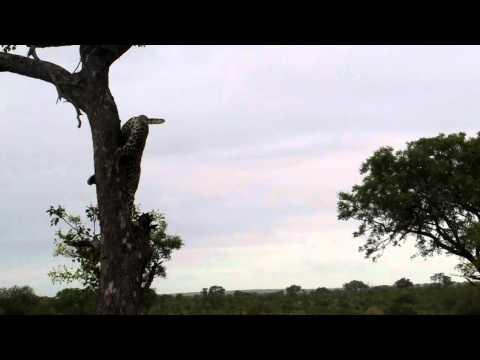 SA Jan 2012 Sabi Sands: Leopard 1