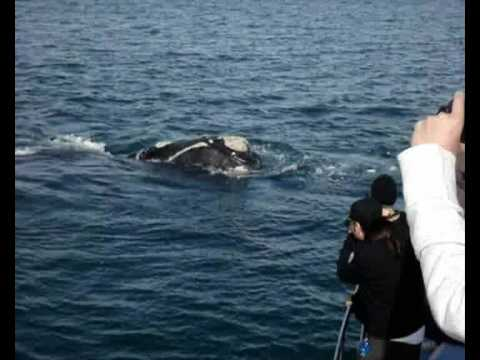 incredible Whale watching (and boat trips) Hermanus, South Africa
