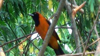 O canto do João pinto, Icterus croconotus, Orange-backed Troupial,