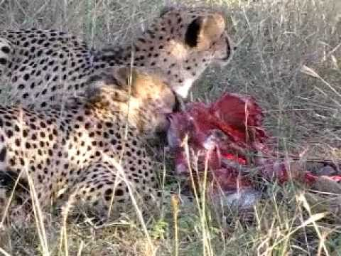 On Safari in Africa, Two Cheetas Eating a Fresh Kill of Impala