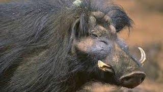5 raras extrañas especies de cerdo salvaje