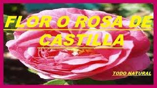flor de castilla o rosa de castilla beneficios para la salud