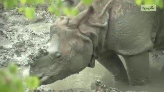 Neushoorns nemen een modderbad