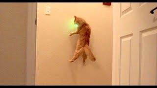 Cat chasing green laser pointer