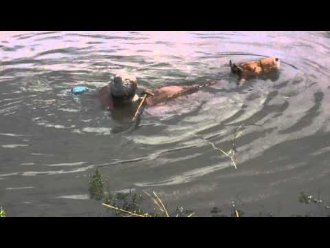Bathing cow in bangladesh (goru re gosol korai)