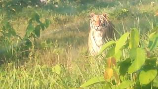 A Giant Royal Bengal Tiger in its free style mood