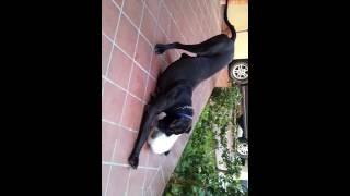 Ataque: Dogue Alemão come Rafeiro Alentejano vivo
