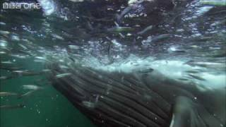 HD: Bait Ball Feast - Nature's Great Events: The Great Feast - BBC One width=