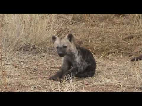 Hyena Cubs – Kruger NP, South Africa